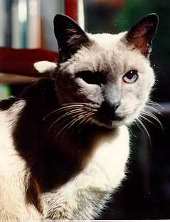 Suki, a blue pointed Siamese who lived with John before Elas.