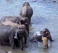 Elephant Orphanage at Pinnewela